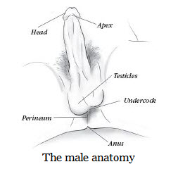 The Anatomy of The Penis